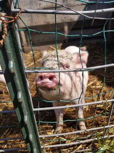 Miniature Pig Animals for sale in Dundee, MI 48131, USA. price 65USD