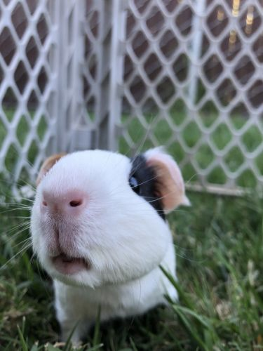 Miniature Pig Animals for sale in Hughson, CA 95326, USA. price 30USD