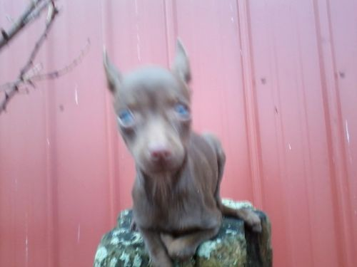 Miniature Pinscher Puppies for sale in Vevay, IN 47043, USA. price 300USD