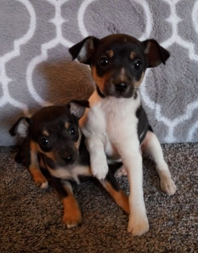 Miniature Pinscher Puppies for sale in Clio Rd, Clio, MI, USA. price 300USD