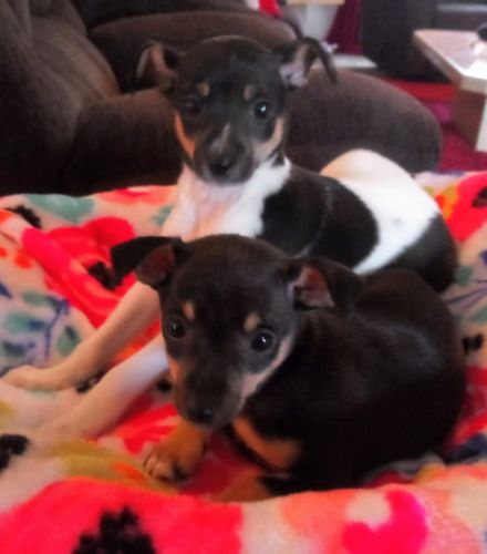 Miniature Pinscher Puppies for sale in Clio Rd, Clio, MI, USA. price 200USD