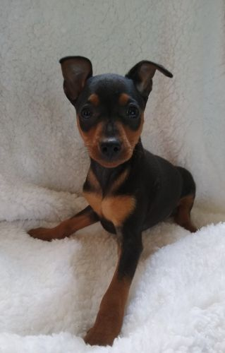 Miniature Pinscher Puppies for sale in Birch Run, MI 48415, USA. price 200USD