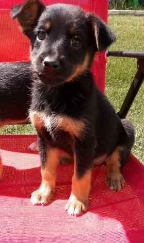 Miniature Pinscher Puppies for sale in Clio Rd, Clio, MI, USA. price 250USD