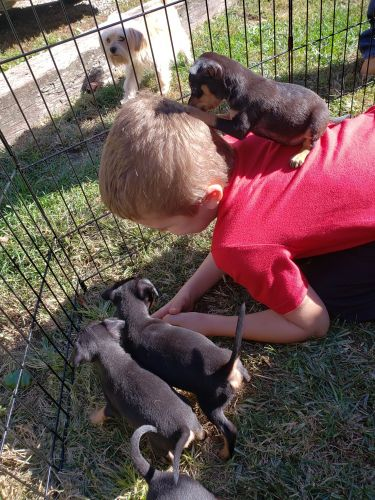 Miniature Pinscher Puppies for sale in Poland, IN 47868, USA. price 350USD