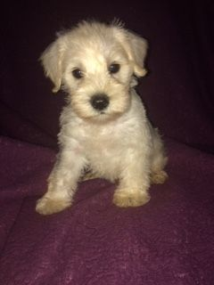 Miniature Schnauzer Puppies Sale | Erie, PA #5886