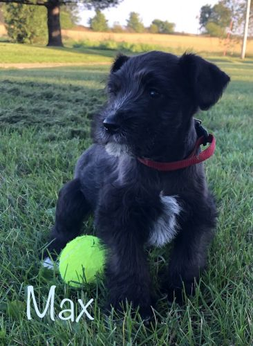 Miniature Schnauzer Puppies for sale in Waterloo, IA, USA. price 525USD