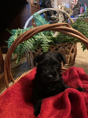 Miniature Schnauzer Puppies for sale in Urbana, OH 43078, USA. price 1500USD