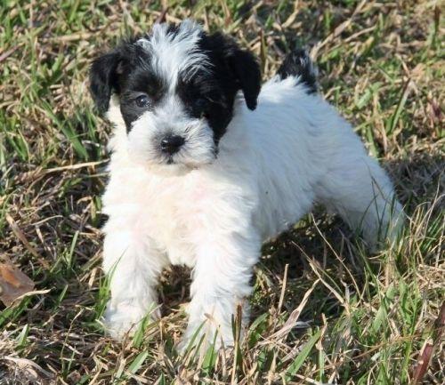 Mioritic Sheepdog Puppies for sale in Sylvania, GA 30467, USA. price 1000USD