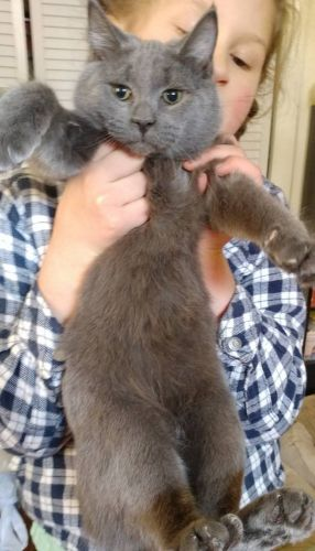 Mitten Cat Cats for sale in Waterbury, CT, USA. price 350USD