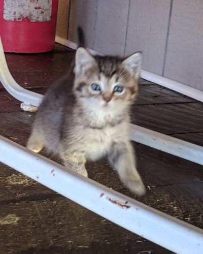 Mixed Cats for sale in Huntsville, OH 43324, USA. price -USD