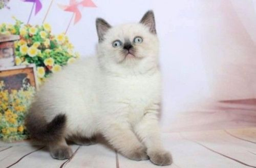 Mixed Cats for sale in Fresno, CA, USA. price 600USD
