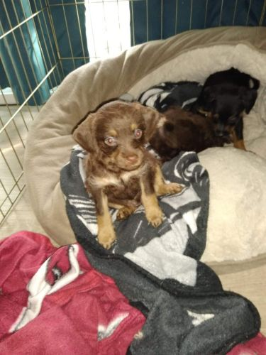 Mixed Puppies for sale in Centreville, VA 20121, USA. price 300USD