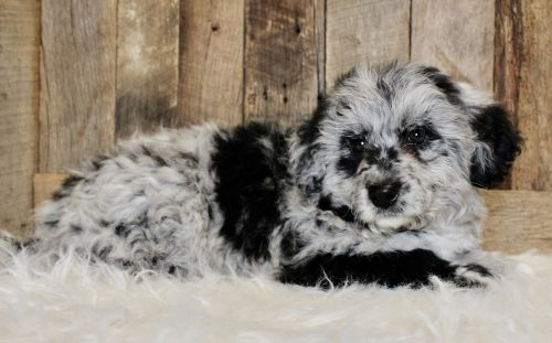 Mixed Puppies for sale in Navarre, OH 44662, USA. price 1250USD