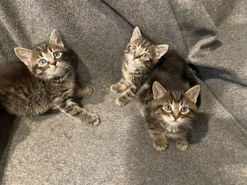 Mixed Cats for sale in McHenry, IL, USA. price 60USD