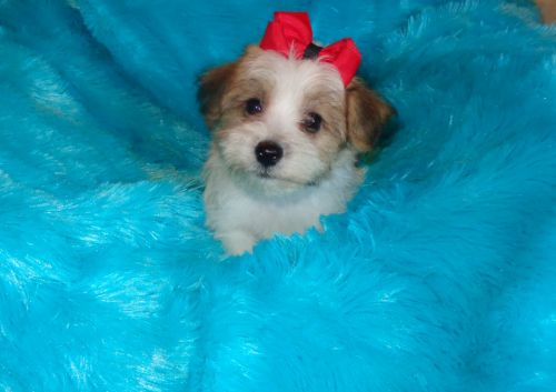 Mixed Puppies for sale in Arlington, SD 57212, USA. price 595USD