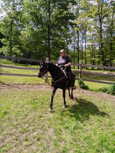 Morgan Horse Horses for sale in Harrison, MI 48625, USA. price 900USD