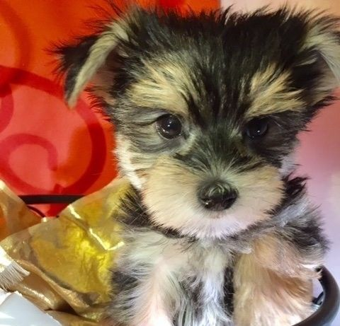 Morkie Puppies for sale in Brooklyn, NY, USA. price 700USD