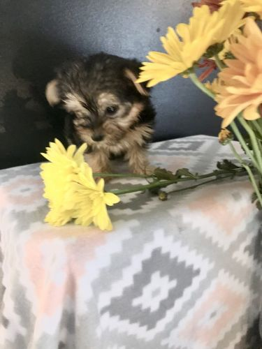 Morkie Puppies for sale in Winston-Salem, NC, USA. price 800USD