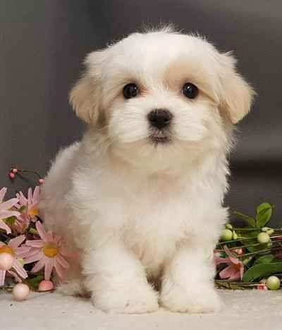 Morkie Puppies for sale in Chicago, IL, USA. price 650USD