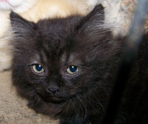 Munchkin Cats for sale in Fayetteville, AR, USA. price 500USD