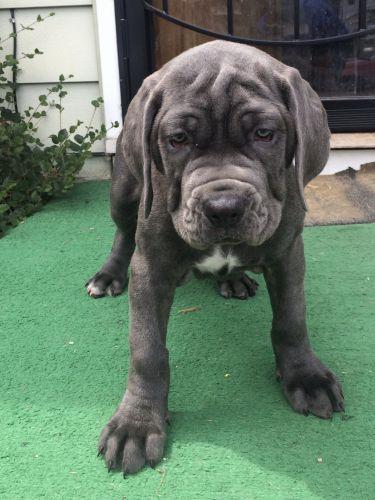 Neapolitan Mastiff Puppies for sale in Toledo, OH, USA. price 800USD