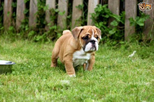 Neilmut (Neil Laing) Puppies for sale in 1201 N Detroit St, West Hollywood, CA 90046, USA. price 500USD