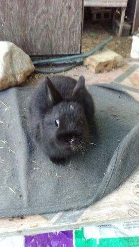 Netherland Dwarf rabbit Rabbits for sale in Morley, MI 49336, USA. price 25USD