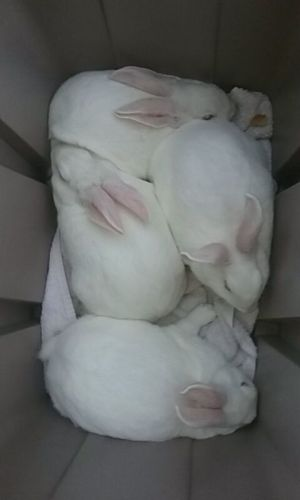 New Zealand rabbit Rabbits for sale in Maumee, OH, USA. price 65USD