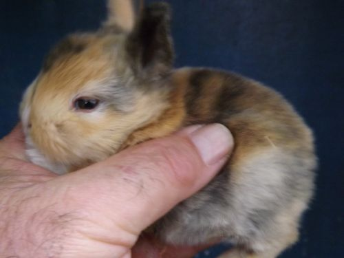 New Zealand rabbit Rabbits for sale in Sequatchie, TN 37374, USA. price 10USD