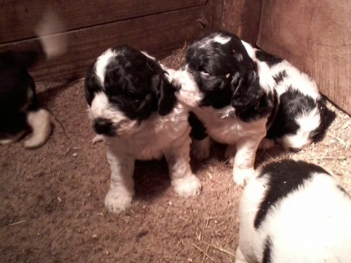 Newfoundland Dog Puppies for sale in Dundee, OH 44624, USA. price 1500USD