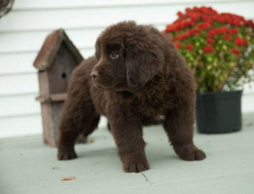 Newfoundland Dog Puppies for sale in Seattle, WA, USA. price 300USD