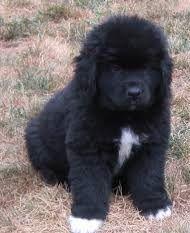 Newfoundland Dog Puppies for sale in Canonsburg, PA, USA. price 650USD