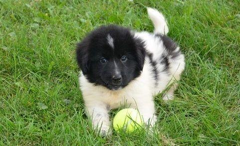 Newfoundland Dog Puppies for sale in Glasgow, KY 42141, USA. price -USD