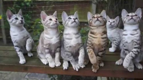 Ocicat Cats for sale in Indianapolis, IN, USA. price -USD
