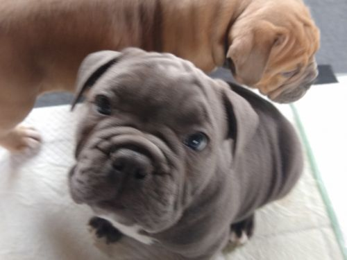 Old English Bulldog Puppies for sale in Hillsdale, MI, USA. price 1700USD