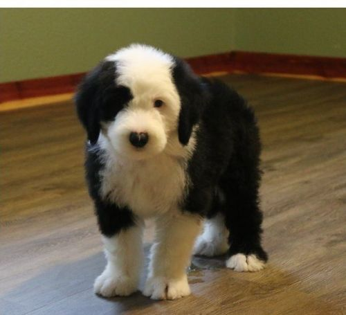Old English Sheepdog Puppies for sale in Seattle, WA, USA. price 300USD