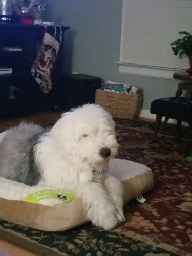Old English Sheepdog Puppies for sale in Gregory, MI 48137, USA. price 1500USD