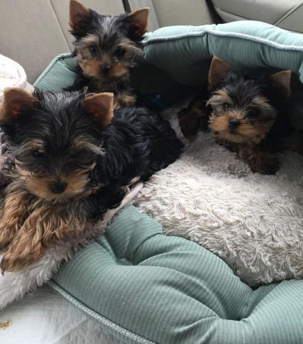 Old English Terrier Puppies for sale in Virginia Beach, VA, USA. price -USD