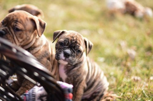 Olde English Bulldogge Puppies for sale in Sioux Falls, SD 57104, USA. price 1500USD