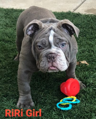 Olde English Bulldogge Puppies for sale in Moreno Valley, CA, USA. price 1100USD