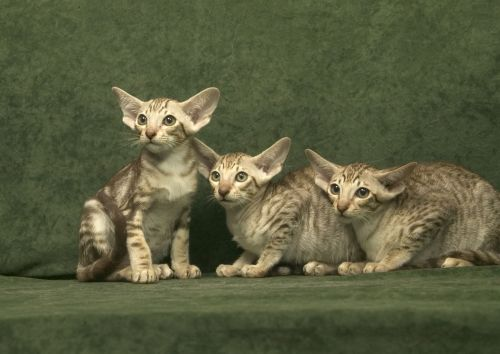 Oriental Longhair Cats for sale in Indianapolis, IN, USA. price -USD