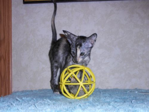 Oriental Shorthair Cats for sale in Mt Jackson, VA 22842, USA. price -USD