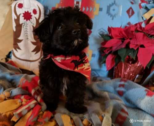 Other Puppies for sale in Frewsburg, NY 14738, USA. price 995USD