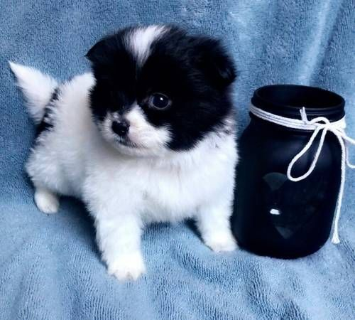 Other Puppies for sale in Dallas, TX, USA. price 500USD
