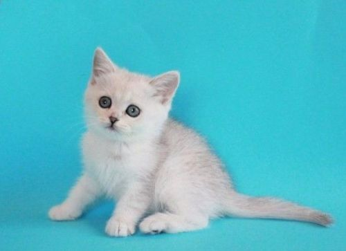 Other Cats for sale in Fresno, CA, USA. price 600USD