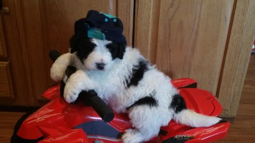 Other Puppies for sale in Todd County, KY, USA. price 1800USD