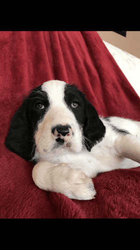Other Puppies for sale in Neligh, NE 68756, USA. price 400USD