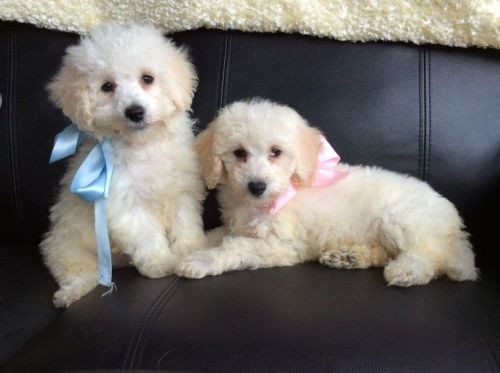 Other Puppies for sale in Los Angeles, CA, USA. price -USD