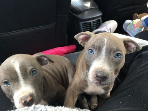Other Puppies for sale in Byesville, OH 43723, USA. price 400USD