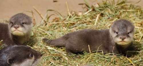Otter Animals for sale in Dallas, TX, USA. price -USD
